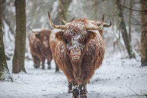Schotse hooglander van Robin Smit