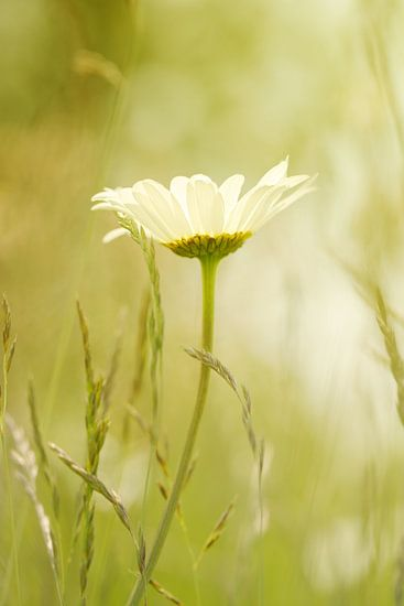 White daisy in the field van LHJB Photography